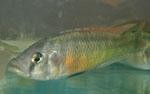 Paralabidochromis_chilotes