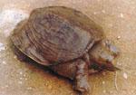 Pelodiscus_sinensis