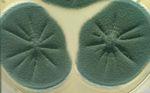 Penicillium_polonicum_IBT_4502