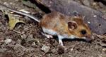 Peromyscus_maniculatus_bairdii