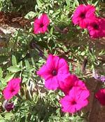 Petunia_x_hybrida