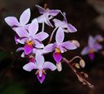 Phalaenopsis_equestris
