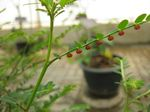 Phyllanthus_urinaria