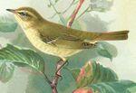 Phylloscopus_trochiloides_viridanus