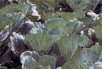 Phytophthora_brassicae