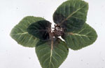 Phytophthora_cryptogea_strain_CBS_418_71