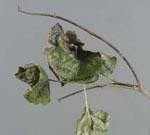 Phytophthora_ramorum_strain_EU1_CC1008