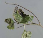 Phytophthora_ramorum_strain_EU2_SOD136_11