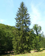 Picea_abies