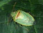 Piezodorus_guildinii