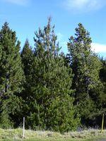 Pinus_patula