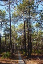Pinus_pinaster
