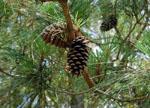 Pinus_taeda