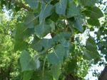 Populus_deltoides