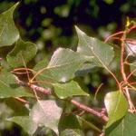 Populus_trichocarpa_x_Populus_nigra