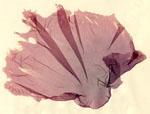Porphyra_yezoensis