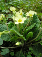 Primula_vulgaris