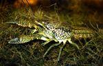 Procambarus_virginalis