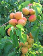 Prunus_armeniaca