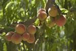 Prunus_persica