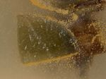 Pseudonectria_foliicola_AR2711