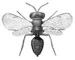 Pteromalus_puparum