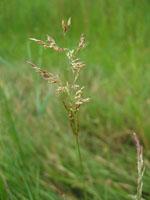 Puccinellia_tenuiflora