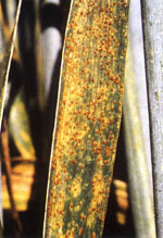 Puccinia_triticina_Race_77_isolate_77_A