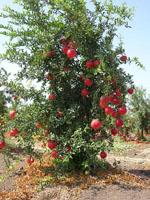 Punica_granatum_cultivar_Taishanhong