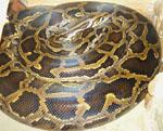 Python_molurus