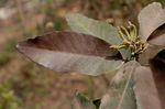 Quercus_kerrii