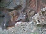 Rhinopithecus_bieti