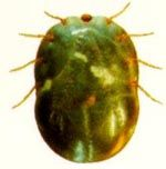 Rhipicephalus_microplus_str__Deutsch