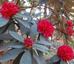 Rhododendron_delavayi_var__delavayi