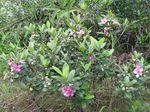 Rhodomyrtus_tomentosa