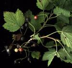 Ribes_americanum