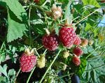 Rubus_hybrid_cultivar