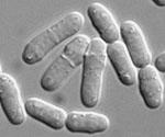 Schizosaccharomyces_cryophilus_NRRL_Y_48691