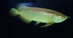 Scleropages_formosus_breed_green_arowana