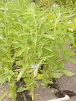 Sesamum_indicum_cultivar_Zhongzhi_No__13
