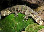 Shinisaurus_crocodilurus