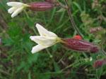 Silene_latifolia