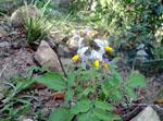 Solanum_commersonii