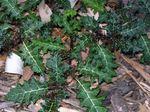 Solanum_prinophyllum