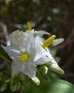 Solanum_torvum