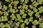 Spirodela_polyrhiza