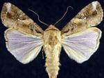 Spodoptera_frugiperda_corn_strain