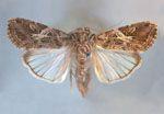 Spodoptera_litura