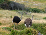 Struthio_camelus_australis