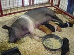 Sus_scrofa_domestica_breed_Hampshire